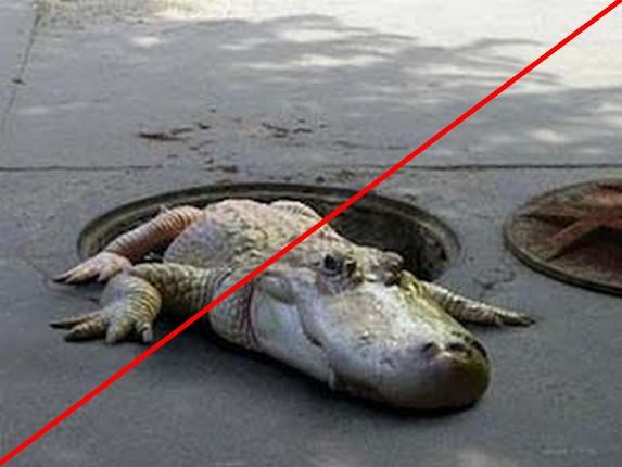 crododiles échappés du zoo de Vincennes-1--