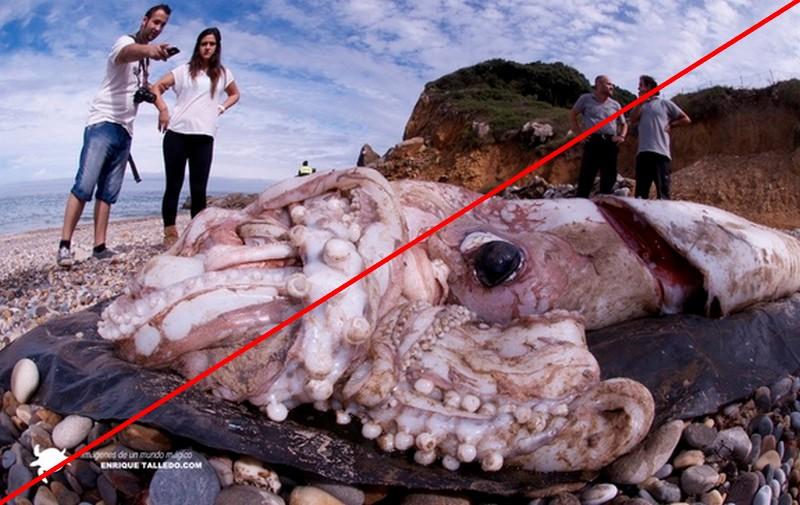 2016-Calamar geant échoué-5
