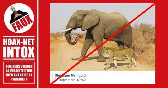 Non, cet éléphant ne porte pas un lionceau avec sa trompe.