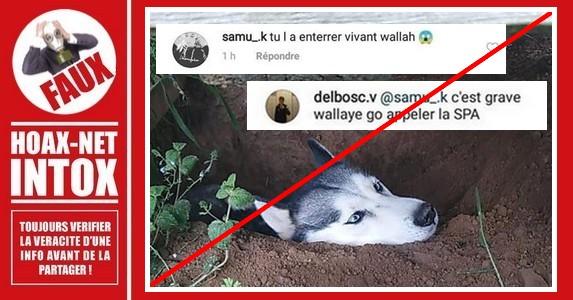 Non, ce Husky n'a pas été enterré vivant.