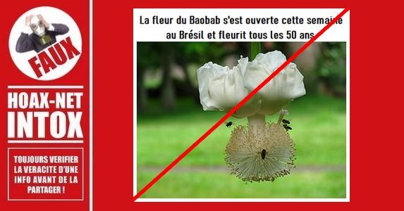 Non, la fleur du «Baobab» ne fleurit pas tous les 50 ans.